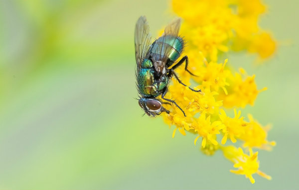 Macro Image of a Fly